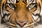 Nature vs. Nurture - turning a newborn baby into a tiger